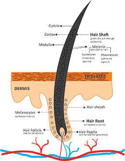 Hair Structural Overview